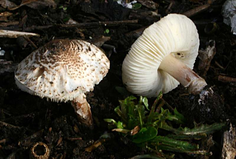 to show a poisonous mushroom