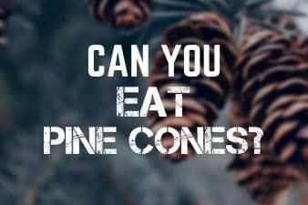 Is it safe to eat pine cones? Are they toxic to humans?