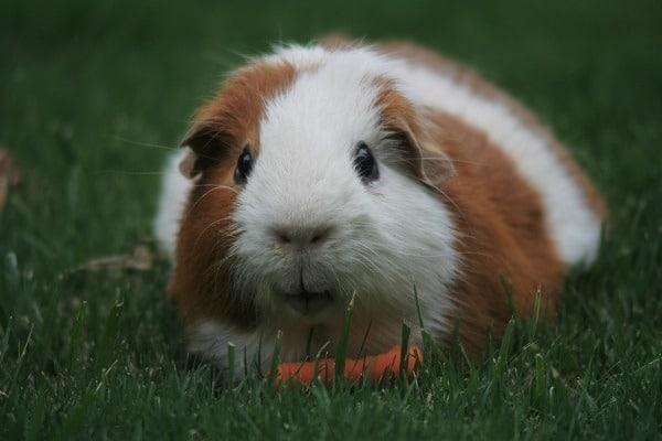 guinea pig survival animal