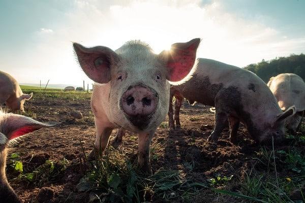 pigs survival animals