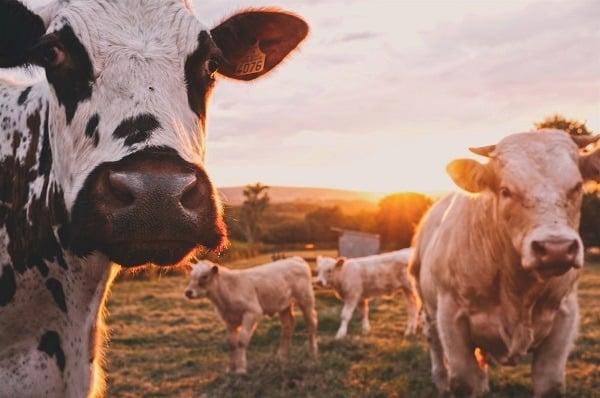 cows survival animals