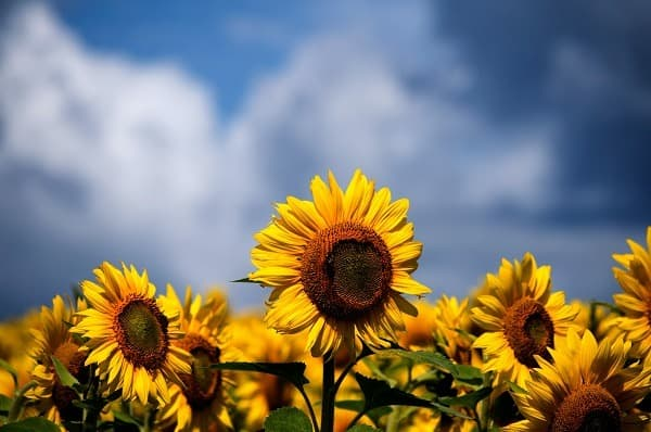 how to grow vegetables sunflowers
